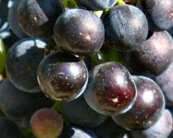 Cabernet Sauvignon, Medoc appalation wine notes