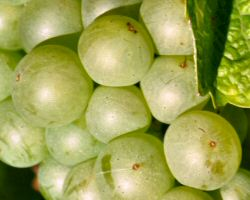 Semillon grape, Entre-Daux-Mers wine notes